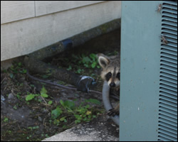 Raccoon removal and control Winchester VA
