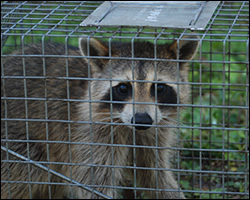 Winchester wildlife trapping